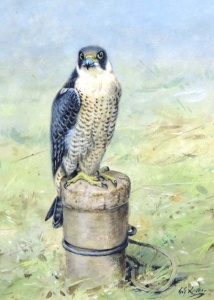 Peregrine Tiercel on Block